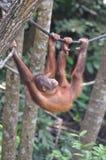 Orangutang, das auf einem Seil schwingt Lizenzfreies Stockbild