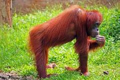 Orangutang, das eine Banane in Borneo isst Lizenzfreies Stockfoto
