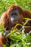 Orangutang del parque zoológico de Adelaide que come el 9 de agosto de 2012 fotografía de archivo