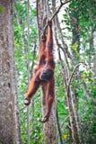 Orangutang in der Tätigkeit Lizenzfreie Stockfotos