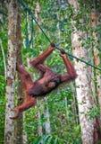 Orangutang in der Tätigkeit Lizenzfreies Stockfoto