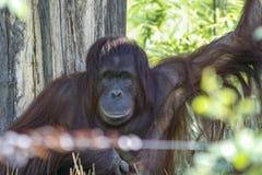 Orangutang die recht uit met een grijns, draad vaag in voorgrond kijken stock foto