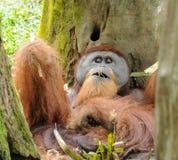 Orangutang efter lunch med något gräs arkivfoton