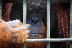 Orangutang en jaula Imagen de archivo