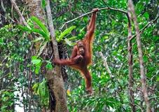 Orangutang en la acción Imagen de archivo libre de regalías