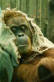 Orangutang en un capo motor Fotografía de archivo