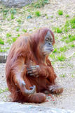 Orangutang holding out his hand Royalty Free Stock Image