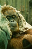 Orangutang in a hood. A bored orangutang looks on whilst wearing a hood made of sack stock photography