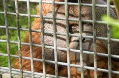 Orangutang i fångenskap bak stänger Arkivfoton