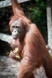 Orangutang i tanjung som sätter nationalparken Arkivbilder