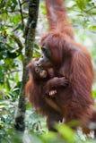 Orangutang i tanjung som sätter nationalparken Royaltyfri Foto