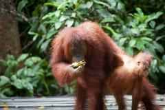 Orangutang i tanjung som sätter nationalparken Arkivfoto