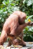 Orangutang i tanjung som sätter nationalparken Royaltyfri Fotografi