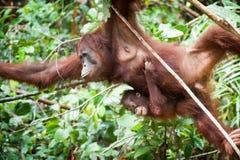 Orangutang i tanjung som sätter nationalparken Fotografering för Bildbyråer