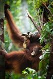 Orangutang i tanjung som sätter nationalparken Royaltyfria Foton