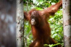 Orangutang i tanjung som sätter nationalparken Arkivbild