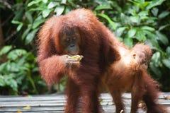 Orangutang i tanjung som sätter nationalparken Royaltyfria Bilder