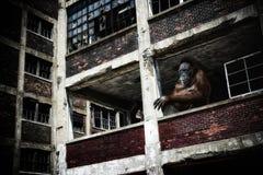 Orangutang i övergiven byggnad Royaltyfria Foton