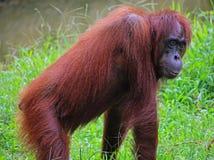 Orangutang im Grün von Borneo Stockfotografie