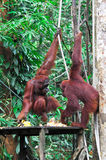 Orangutang im Regenwald Lizenzfreie Stockbilder
