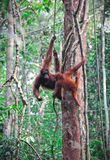 Orangutang im Regenwald Stockfoto