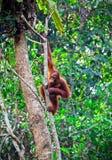 Orangutang im Regenwald Stockbilder
