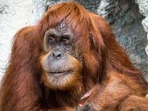 Orangutang monkey ape animal Stock Photography
