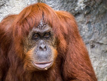 Orangutang monkey ape animal Stock Photos