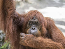 Orangutang monkey ape animal Stock Photos