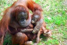 Orangutang Mutter und Schätzchen Stockbild