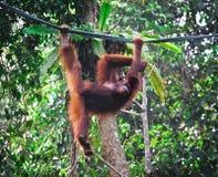 Orangutang na floresta húmida Imagens de Stock