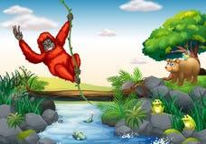 Orangutang och flod Arkivbild
