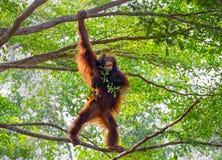 Orangutang på trädet Royaltyfria Bilder
