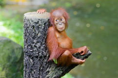 Orangutang (Pongo) royalty free stock photo