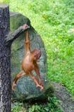 Orangutang (Pongo) baby Royalty Free Stock Photos