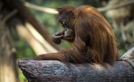 Orangutang (Pongo) baby sits on the tree. Royalty Free Stock Photo