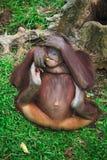 Orangutang portrait Royalty Free Stock Photography