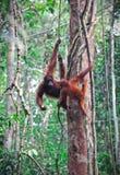 Orangutang in rainforest Stock Photo