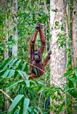 Orangutang in rainforest Royalty Free Stock Photos