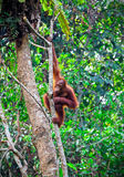 Orangutang in rainforest Stock Images