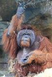 orangutang som äter grönsaken Fotografering för Bildbyråer