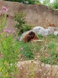 Orangutang som äter på den Chester zoo arkivbild