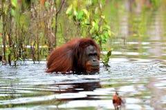 Orangutang som badar i floden royaltyfri bild