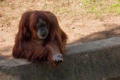 Orangutang som frågas att äta i zoo Arkivbild