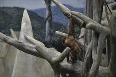 Orangutang som hänger från träd Arkivbild