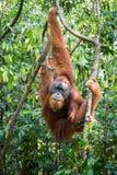 Orangutang som hänger i träden arkivbild