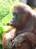 Orangutang som kontrollerar för att se, om stycket av mat är värt äta Arkivbilder