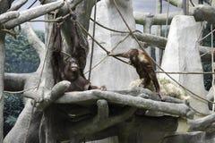 Orangutang som kopplar av i ett träd Arkivfoton