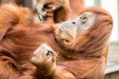 Orangutang som skrapar sig Arkivbilder