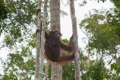 Orangutang som två hänger mellan två träd på hans starkt, tafsar i djunglerna av Indonesien Arkivbilder